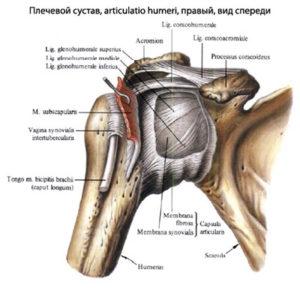 строение плеча и плечевой кости