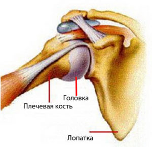 Плечевой сустав и его строение