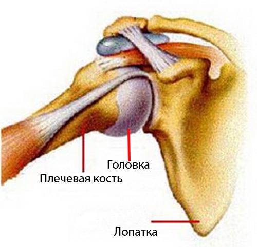 Медицина.плечевой сустав.перелом плечевого сустава.показан ли массаж артроз коленного сустава личение прибором лазера